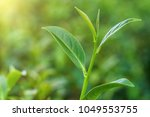 fresh tea leafs in plantation.   Shutterstock . vector #1049553755