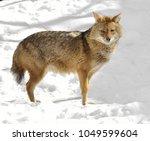 golden jackal  canis aureus  in ... | Shutterstock . vector #1049599604
