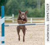 Small photo of Australian Kelpie jumps over an agility hurdle in agility competition