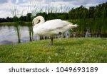 beautiful one leg white swan... | Shutterstock . vector #1049693189