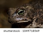 common toad  bufo bufo .... | Shutterstock . vector #1049718569