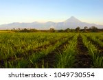 view of a sugarcane field in... | Shutterstock . vector #1049730554