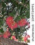 Small photo of Pohutukawa tree in Akaroa / New Zealand