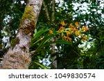 endemic wild orchid  grammangis ... | Shutterstock . vector #1049830574