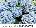 beautiful blue hydrangea buds | Shutterstock . vector #1049854079