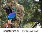 Himalayan Monal In Kedarnath...