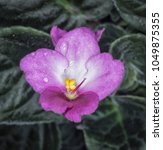 Small photo of African violet flower