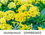 Primrose Primula Veris. Yellow...