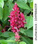 Small photo of Brazilian red-cloak, Megaskepasma erythrochlamys. Acanthaceae family. Amazon rainforest, Brazil