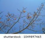 red silk cotton  bombax ceiba ... | Shutterstock . vector #1049897465