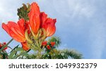 Small photo of Close up with copy space of a crimson African Tulip Tree (Spathodea, Bignoniaceae) bloom with mossy buds, leaves and stem in background against a blue sky taken in the Caribbean Island of Antigua.