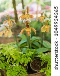 Small photo of Orchid flower in orchid garden, Orchid flower bloom.