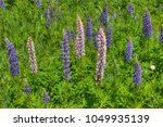 lupines blooming in northern... | Shutterstock . vector #1049935139