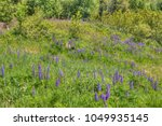 lupines blooming in northern... | Shutterstock . vector #1049935145
