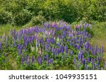 lupines blooming in northern... | Shutterstock . vector #1049935151