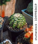 Small photo of Ariocarpus kotschoubeyanus is a species of plant in the Cactaceae family.