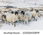 Swaledale Sheep  A Flock Of...