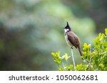 red whiskered bulbul ...   Shutterstock . vector #1050062681