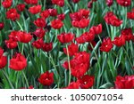 red tulips in the park | Shutterstock . vector #1050071054