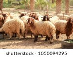 Sheep Awassi Brown Sheep