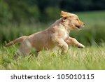 Golden Retriever Puppy Runs...
