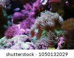 sea anemones  in the aquarium... | Shutterstock . vector #1050132029