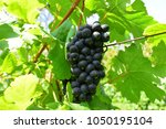 bunch of black grapes in vinery ... | Shutterstock . vector #1050195104