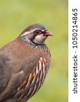 Small photo of An adult Red legged Partridge (Alectoris rufa) also known as French Partridge close up, against a blurred natural background, East Yorkshire, UK