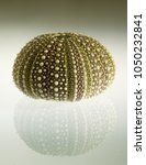 Small photo of Test (hard shell) of a green and regular sea urchin (Echinoidea) and reflection over a gradient background. Plates of ball and sockets joints for spines and plates of ambulacral groves are visible.