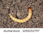 larvae of agriotes a species of ... | Shutterstock . vector #1050252797