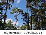 single pine surrounded by pine... | Shutterstock . vector #1050263315