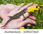 Small Lizard Sits On Hands