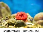 Small photo of A Sea anemone (Order Actiniaria) with a crustacean in anaquarium