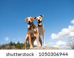 Stock photo two young dogs enjoying sunny weather in off leash park standing on large rock 1050306944