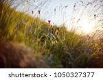 blade of grass swaying in the... | Shutterstock . vector #1050327377