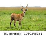 male marsh deer  blastocerus...   Shutterstock . vector #1050345161