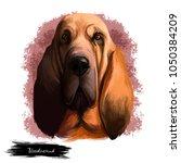 Bloodhound  Chien De Saint...