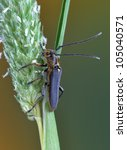 Small photo of Beetle Phytoecia waltli on a plant