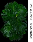 monstera leave texture tropical ... | Shutterstock . vector #1050445661