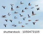 great white pelican  pelecanus... | Shutterstock . vector #1050473105