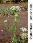 Ammi Visnaga Plant  Known By...