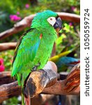 green macaw parrot standing on... | Shutterstock . vector #1050559724