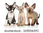 Stock photo devon rex kittens posing on a white background 105056591