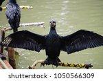 Spread Wings Cormorant Birds...