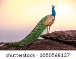 peacocks are very colorful | Shutterstock . vector #1050568127