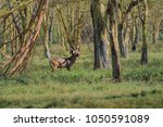 Small photo of Waterbuck antelope with big antlers in forest of Lake Nakuru Kenya Africa. Waterbuck is a large antelope found widely in sub-Saharan Africa. It is placed in the genus Kobus of the family Bovidae.