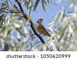 common nightingale perching in... | Shutterstock . vector #1050620999