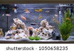 Aquarium With Cichlids Fish...