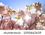 rhododendron's blooming during... | Shutterstock . vector #1050662639
