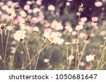 flowers cosmos pink and white ... | Shutterstock . vector #1050681647
